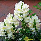 Lemon and Cream Snapdragons by MidnightMelody