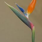 Bird of Paradise: Strelitzia by Mark Kopczewski