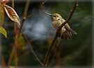FLEDGLING ANNA HUMMINGBIRD by Sandy Stewart