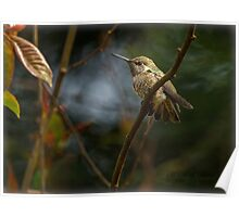 FLEDGLING ANNA HUMMINGBIRD Poster