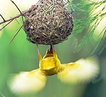 Fluttering Weaver by Peter Denness