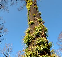 Bushfire Eucalyptus  by Tom Newman
