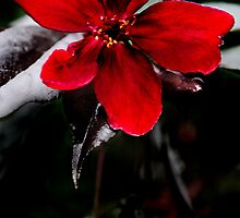 Red Bloom by TickerGirl