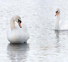 Courting the lady - Mute Swan couple by Poete100