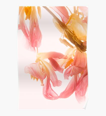 Faded Tulip Glow Poster