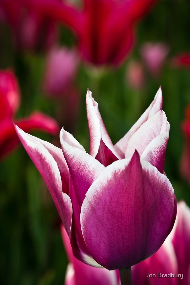 Tulip by Jon Bradbury