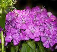 Dianthus by Bonnie T.  Barry