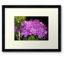 Dianthus Framed Print