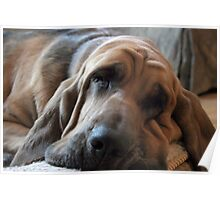 Cool Bloodhound Poster
