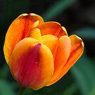 Golden Red Tulip by Kenneth Keifer