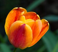 Golden Red Tulip by Kenneth Keifer