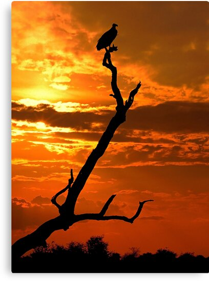 Vulture at Sunset, Kruger National Park,  South Africa. by PhotosEcosse
