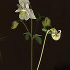 White Columbine Detail by Barbara Wyeth