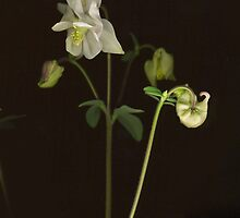 White Columbine Detail by Barbara Wyeth