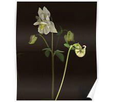 White Columbine Detail Poster