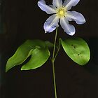 Palest Blue Clematis by Barbara Wyeth
