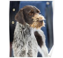 Loud German Wire-Haired Pointer Poster