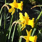 Chorus of Daffodils (Lent Lilies) by SunriseRose