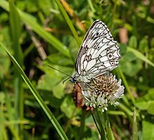 Marbled White Butterfly by Sue Robinson