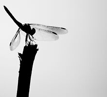 Back Lit Dragon Fly by Dreebs