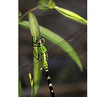 Green Dragonfly 2 Photographic Print