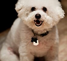 Adorbz Bichon Frise by welovethedogs
