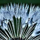 dandelion in blue by Sheri Nye