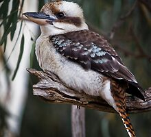 kookaburra sits in the old gum tree by Lisa  Kenny
