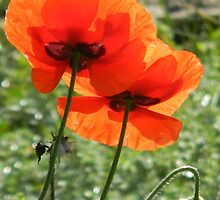Red Poppies Absorb the Colors of the Sun by Navigator