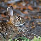 Wild-eyed Bunny by Donna Adamski