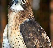 Sharp-Shinned Hawk by BarbL