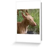 Special Pharaoh Hound