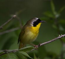 Common Yellow Throat Warbler 2 by John Absher