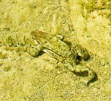 Underwater toad, Montichiello, Tuscany. Rospo nell'acqua, Montichiello, Toscana by Andrew Jones