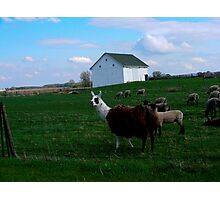 Dinner Time On The Farm Photographic Print