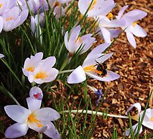 crocus flowers and bumblebee by gaylene