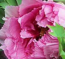 Pink April Tree Peony by naturelover