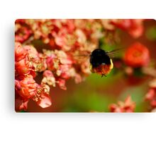 Red Tailed Bumble Bee Canvas Print
