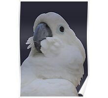 Ruffled Feathers Of A Blue Eyed Cockatoo Isolated Poster