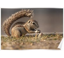Ground Squirrel  II Poster