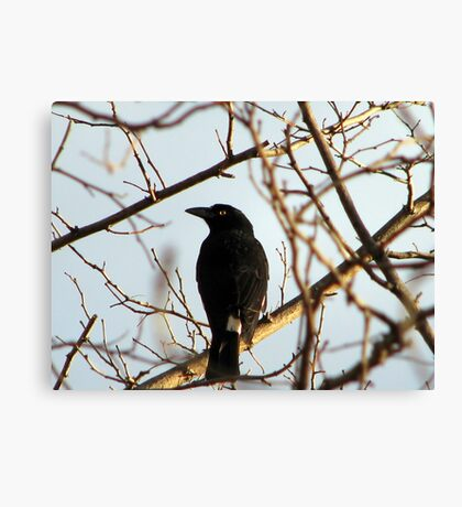 Currawong Canvas Print