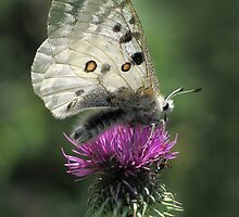 Silver Butterfly on Thistle by jacqi