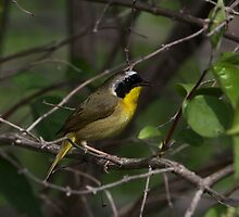 Common Yellow Throat Warbler 4 by John Absher