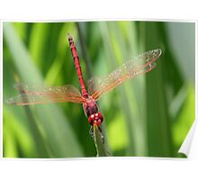 Closeup of Red Skimmer or Firecracker Dragonfly Poster