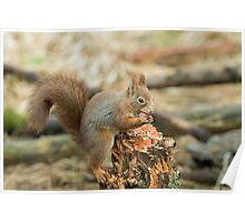 Red Squirrel with Hazel Nut Poster