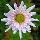 Pale Pink Chrysanthemum by lynn carter