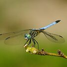 Dragonfly Perched by kellimays