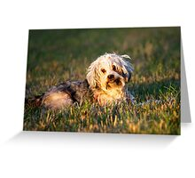 Well-trained Tibetan Terrier