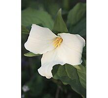 Trillium Bloom Photographic Print