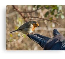 Robin Feeding from Hand Canvas Print